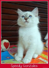 Disponibile splendido cucciolo sacro di Birmania Lilac tabby point