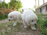 cuccioli di pastore maremmano abruzzese