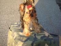 yorkshire terrier e chiuahua pelo corto