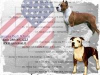queen ast amstaff american staffordshire terrier cuccioli