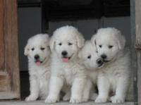 Cuccioli di Maremmano Abruzzese