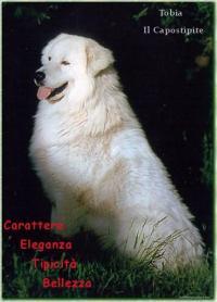 breeding Maremma Sheepdog