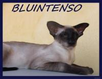 BLUINTENSO Siamese