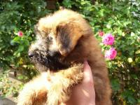 Cuccioli di Irish Soft Coated Wheaten Terrier - pelo anallergico
