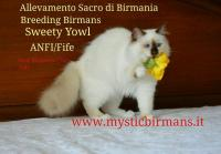 Breeding Birmans near Malpensa Airport