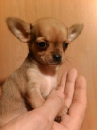 Chihuahua pelo corto cuccioli