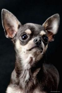 chihuahua pelo corto