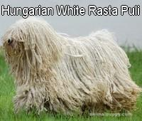 Hungarian White Rasta Puli kennel
