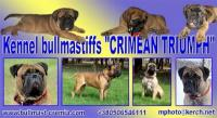 Crimean TRIUMPH - Bullmastiff kennel