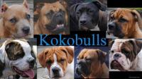kokobulls heeft binnenkort pitbull pupjes