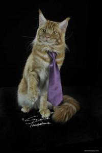 maine coon femmina
