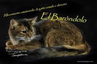 Allevamento di gatti Somali e Abissini El Barondolo