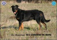 BEAUCERON - PASTORE DELLA BEAUCE - BERGER DE BEAUCE
