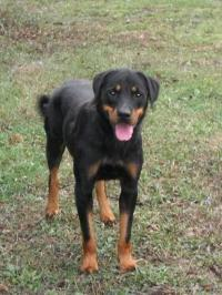 Rottweiler: femmina adulta disponibile