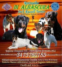 Rottweiler e Jack Russell Terrier