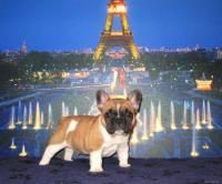 bouledogue francese