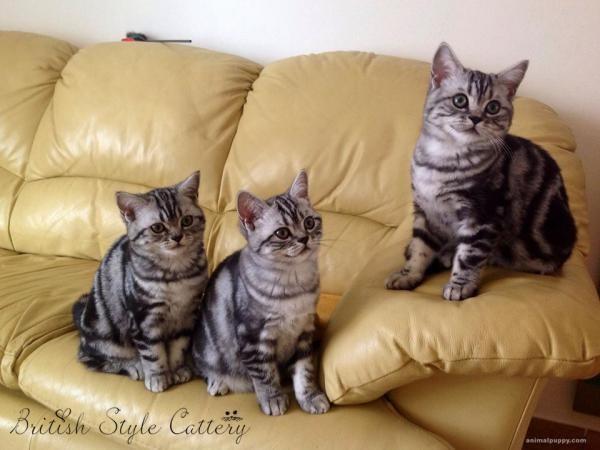 Allevamento Gatti British Shorthair Black Silver Tabby Allevamenti