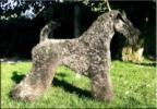 Kerry Blue Terriers Top Quality