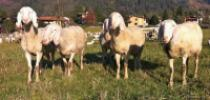 Associazione allevatori della pecora Bergamasca