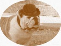 I BULLI DI MANU Allevamento riconosciuto ENCI e FCI per la selezione del Bulldog Inglese.