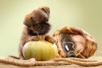 Cuccioli di Griffoncini di Bruxelles Show Qualità