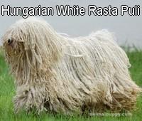 Hungarian White Rasta Puli kennel