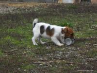 Jack Russell Terrier: cucciolo disponibile
