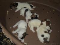 Jack Russell Terrier: nascita cuccioli