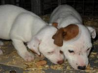 Jack Russell Terrier: disponibili cuccioli