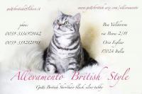 allevamento gatti british