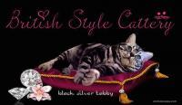 allevamento gatti british shorthair black silver tabby