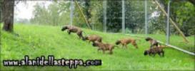 Allevamento alani - Alani della Steppa